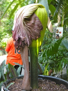 A deflated corpse flower